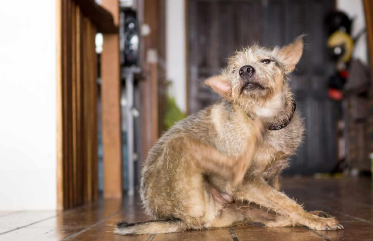 Flohhund
