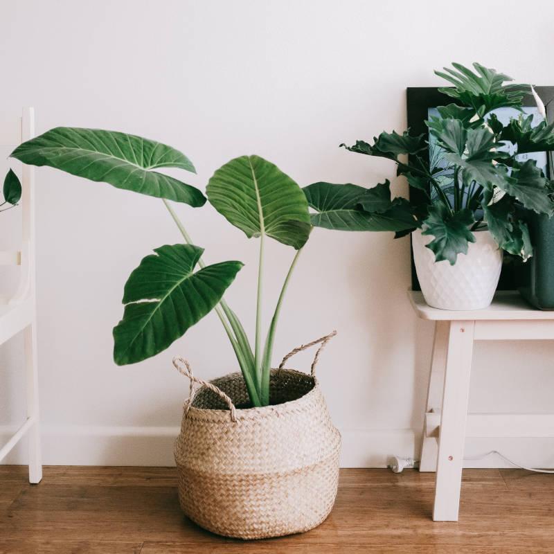 Monstera-Pflanze gegen stickige Luft