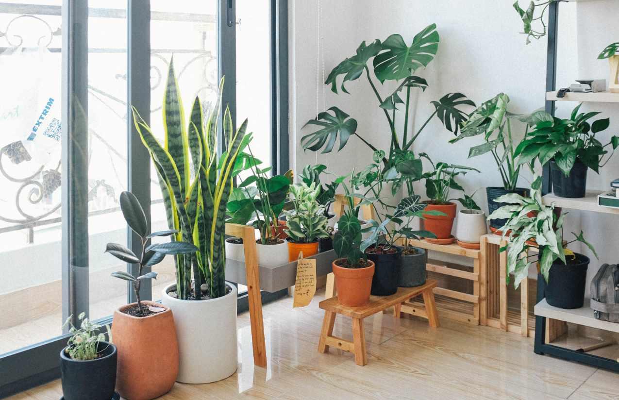 Die Pflanze Bogenhanf reinigt die Luft im Raum